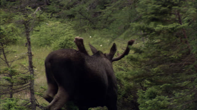 moose in the forest of nova scotia - elk stock videos & royalty-free footage