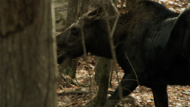 Moose in the forrest.