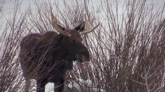 Moose in willows, browsing on willows, Yellowstone National Park, Wyoming, in winter
