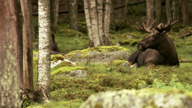 A moose laying down Sweden.