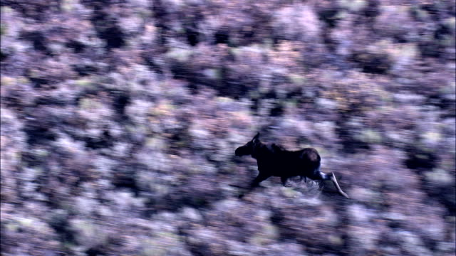 moose on the run  - aerial view - wyoming, lincoln county, united states - wyoming stock videos & royalty-free footage