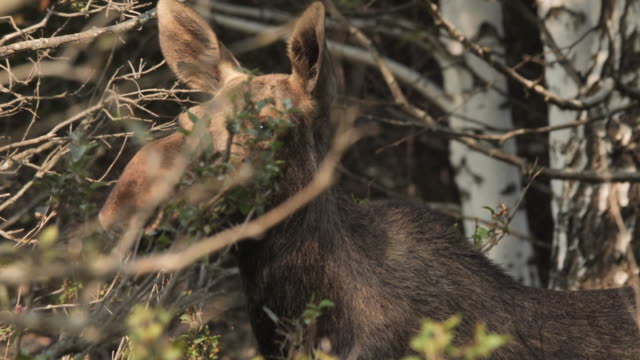 moose (north america) or elk (eurasia), alces alces, russia - hunting stock videos & royalty-free footage