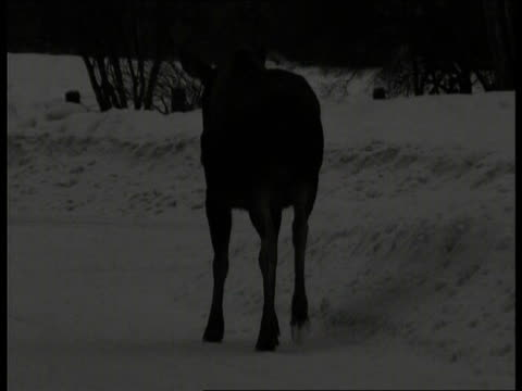 moose plods down snow covered road at night, anchorage, alaska - anchorage alaska stock videos & royalty-free footage