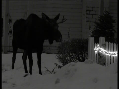 Moose plods past fence and Christmas lights at night, Anchorage, Alaska