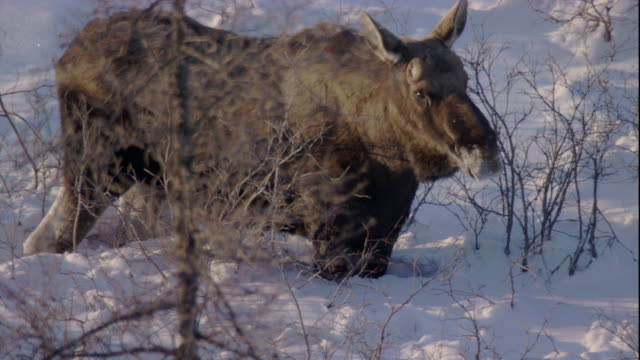 A moose stands in deep snow. Available in HD.