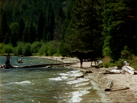 a moose stands on the shore of a lake and walks away. - seeufer stock-videos und b-roll-filmmaterial