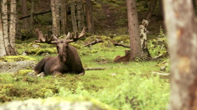 vídeos y material grabado en eventos de stock de a moose sweden. - alce