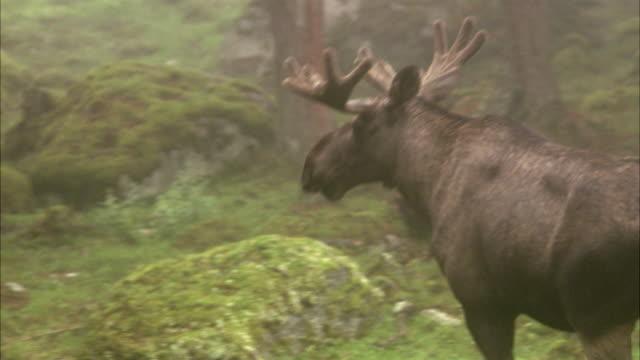 a moose sweden. - elk stock videos & royalty-free footage