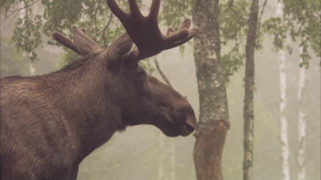 a moose sweden. - ヘラジカ点の映像素材/bロール