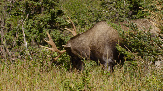 moose thrashes antlers in tree, alaska. - chugach national forest stock videos & royalty-free footage