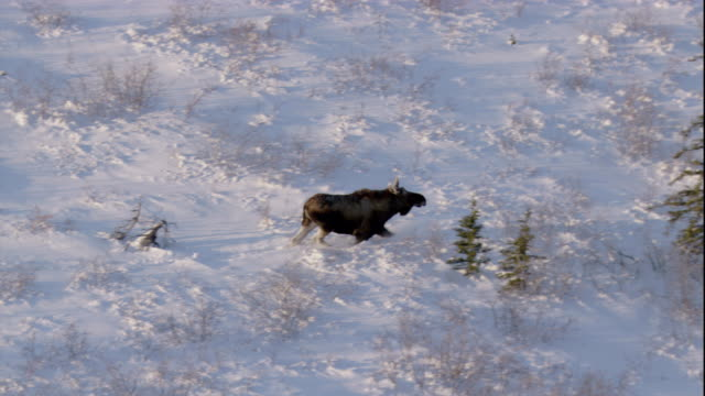 a moose traverses a snowy boreal forest in canada. available in hd. - boreal forest stock videos & royalty-free footage