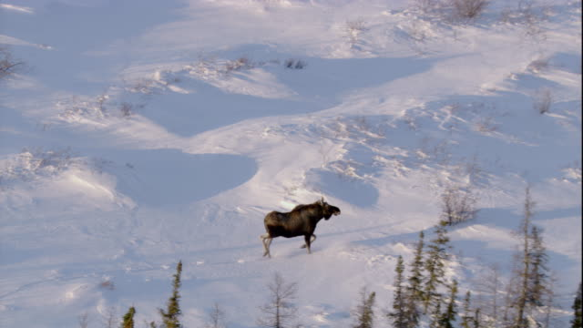 a moose trots across a snowy boreal forest in canada. available in hd. - taiga stock videos and b-roll footage