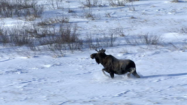 A moose trots through deep snow. Available in HD.