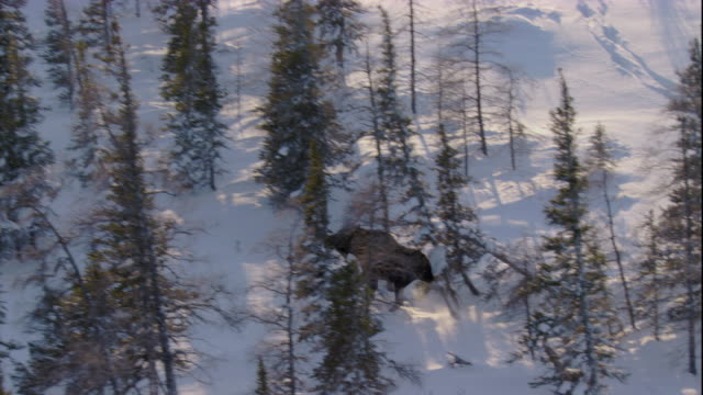 a moose trots through deep snow in a boreal forest. available in hd. - boreal forest stock videos & royalty-free footage