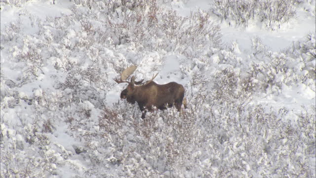 AERIAL Moose trudging through frozen, snow-covered field grass in expansive mountain valley / Alaska