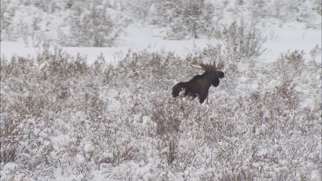 vidéos et rushes de aerial moose trudging through frozen, snow-covered field grass in expansive mountain valley / alaska - caribou