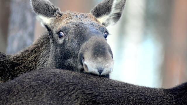 moose - elk stock videos & royalty-free footage