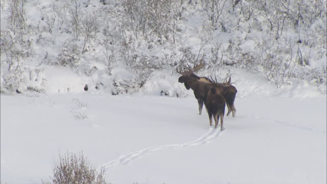 vidéos et rushes de aerial moose wading through snow in expansive mountain valley / alaska, united states - caribou