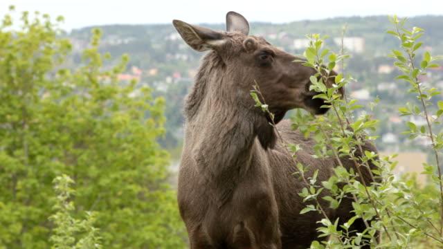 moose - wildlife in the city - elk stock videos & royalty-free footage