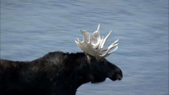 moose with antlers  - aerial view - wyoming, sweetwater county, united states - antler stock videos & royalty-free footage