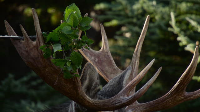 moose with branch in antlers, alaska. - chugach national forest stock videos & royalty-free footage