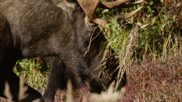 moose with vegetation in antlers, alaska. - chugach national forest stock videos & royalty-free footage