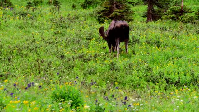 Moose-Lapse