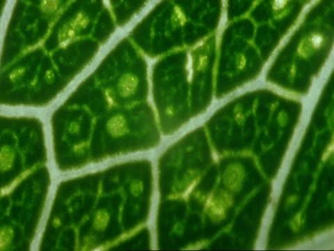 ecu mopane leaf, colophospermum mopane, botswana, africa - intricacy stock videos & royalty-free footage