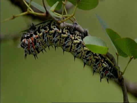 CU Mopane worm Caterpillar being picked off the tree, Botswana, Africa