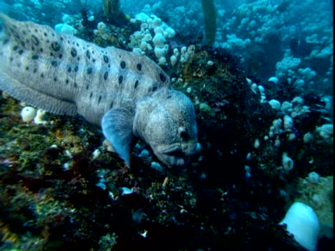 A moraine eel catches a crab on a coral reef.