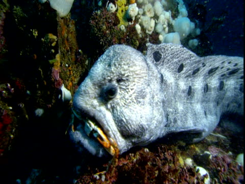 A moraine eel chews a crab on a coral reef.