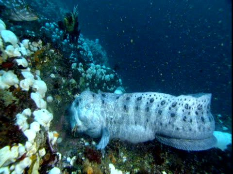 A moraine eel with a crab in its mouth moves on a coral reef.