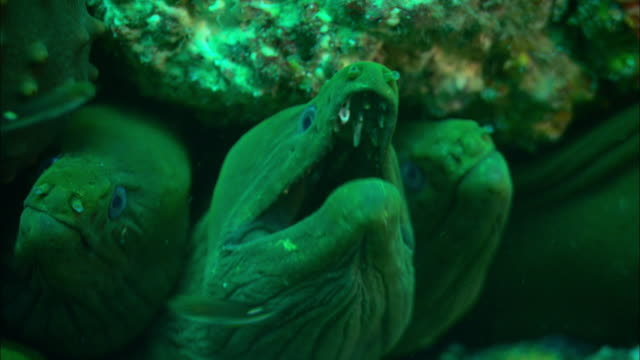 moral eels wait patiently to catch passing fish. available in hd. - moray eel stock videos and b-roll footage
