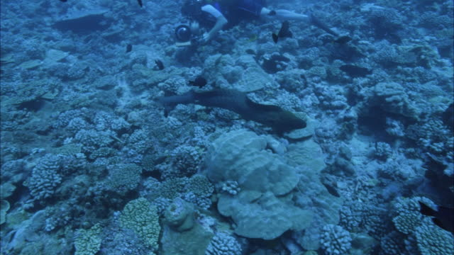 vídeos de stock, filmes e b-roll de slo mo ws pan moray eel (muraenidae) and tropical fish swimming near coral reef, diver with camera in background / moorea, tahiti, french polynesia - moreia