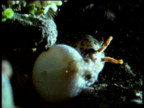 Moray eel attacks Puffer fish which inflates and escapes being eaten.