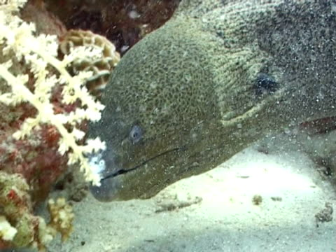 moray eel close up of head in coral crevice - crevice stock videos & royalty-free footage