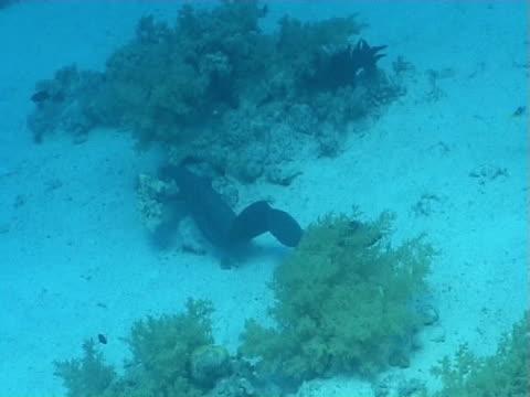 moray eel ws free swimming over sandy bottom - シーグラス点の映像素材/bロール