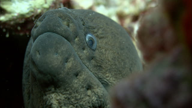 moray eel (gymnothorax sp) gaping on reef, ascension island - moray eel stock videos and b-roll footage
