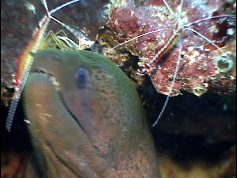 Moray Eel getting cleaned by Shrimp