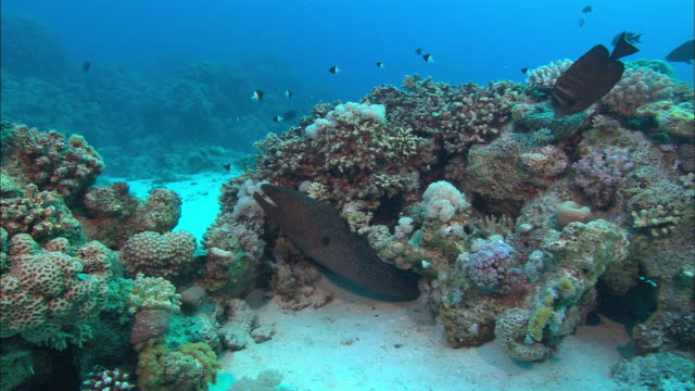 Moray Eel Green body with small black spots, Egypt, Red Sea