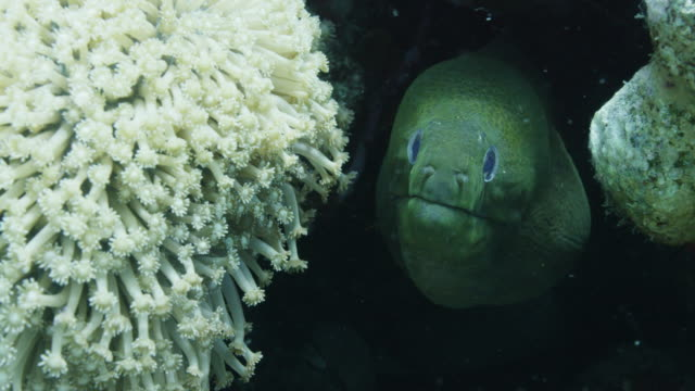 vídeos de stock, filmes e b-roll de moray eel hides in reef, close up - moreia