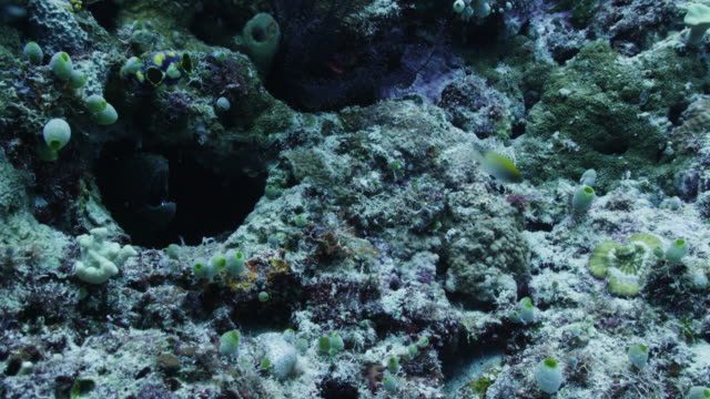 moray eel hides in tropical reef, close up - moray eel stock videos and b-roll footage