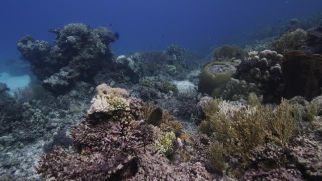 vídeos de stock e filmes b-roll de moray eel hides in tropical reef, indonesia - moreia enguia de água salgada