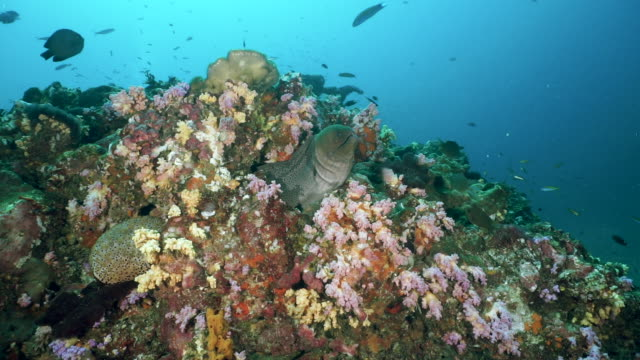 moray eel (gymnothorax javanicus) hiding in colorful underwater coral reef - scuba diver point of view stock videos & royalty-free footage