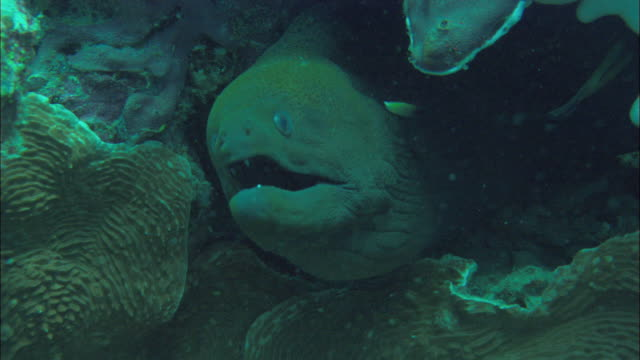 cu moray eel (family muraenidae) in coral in great barrier reef / queensland, australia - moray eel stock videos & royalty-free footage