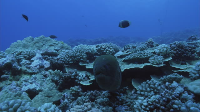 slo mo ms moray eel (muraenidae) in coral reef / moorea, tahiti, french polynesia - ウツボ点の映像素材/bロール