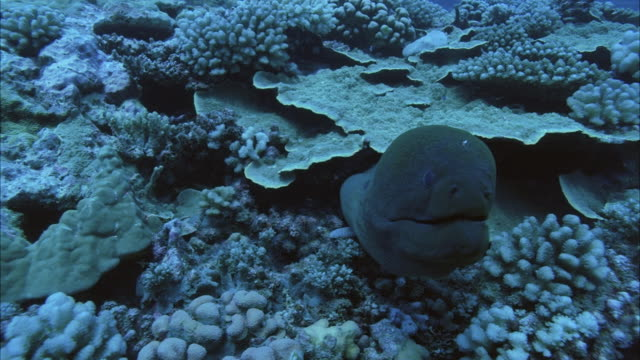 slo mo ms moray eel (muraenidae) in coral reef / moorea, tahiti, french polynesia - moray eel stock videos & royalty-free footage