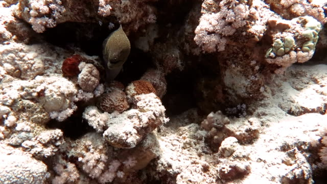 moray eel in coral reef - moray eel stock videos & royalty-free footage