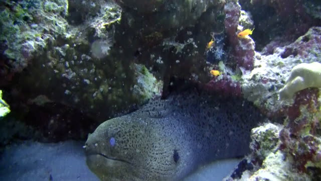 hd: moray eel in reef - moray eel stock videos and b-roll footage