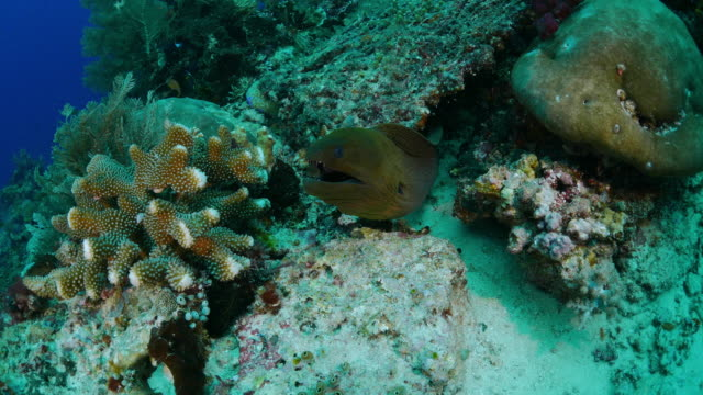 moray eel in reef - moray eel stock videos and b-roll footage